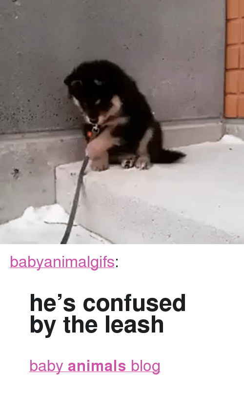"Baby Animals: <p><a href=""http://babyanimalgifs.tumblr.com/post/147406241365/hes-confused-by-the-leash-baby-animals-blog"" class=""tumblr_blog"" target=""_blank"">babyanimalgifs</a>:</p>  <blockquote><h2>he's confused by the leash</h2><p><a href=""http://babyanimalgifs.tumblr.com/"" target=""_blank"">baby <b>animals</b> blog</a></p></blockquote>"