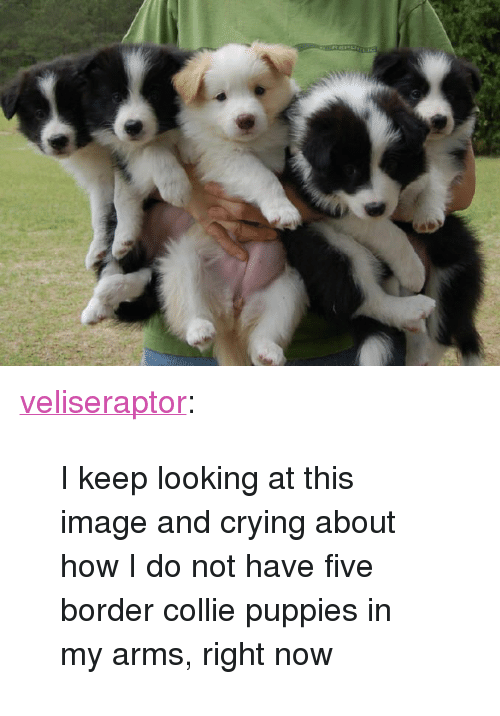 """collie: <p><a href=""""http://veliseraptor.tumblr.com/post/160737914790/i-keep-looking-at-this-image-and-crying-about-how"""" class=""""tumblr_blog"""">veliseraptor</a>:</p><blockquote><p>I keep looking at this image and crying about how I do not have five border collie puppies in my arms, right now</p></blockquote>"""