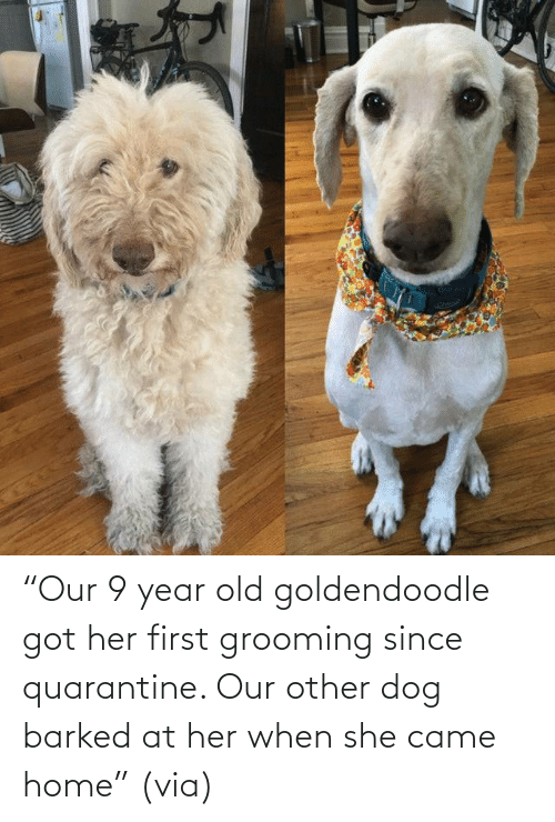 "year: ""Our 9 year old goldendoodle got her first grooming since quarantine. Our other dog barked at her when she came home"" (via)"