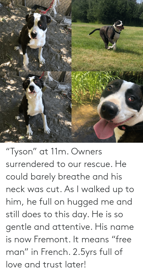"""attentive: """"Tyson"""" at 11m. Owners surrendered to our rescue. He could barely breathe and his neck was cut. As I walked up to him, he full on hugged me and still does to this day. He is so gentle and attentive. His name is now Fremont. It means """"free man"""" in French. 2.5yrs full of love and trust later!"""