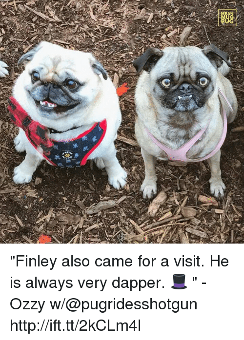 """Ozzies: 券  踟  A """"Finley also came for a visit. He is always very dapper. 🎩 """" -Ozzy w/@pugridesshotgun http://ift.tt/2kCLm4l"""