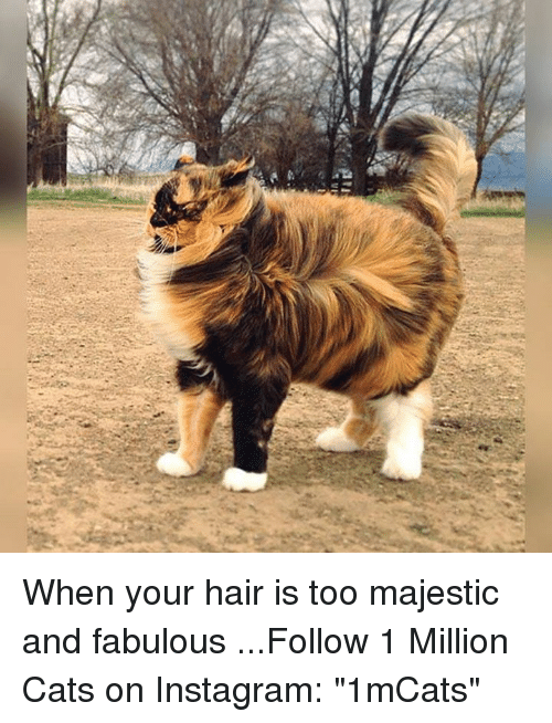 "Majesticity: 되 When your hair is too majestic and fabulous    ...Follow 1 Million Cats on Instagram: ""1mCats"""