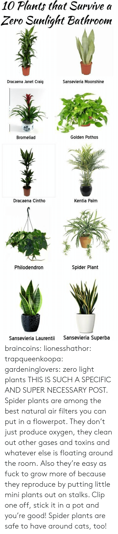 Stick It In: 10 Plants that Survive a  Zero Sunlight Bathroom  Dracaena Janet Craig  Sansevieria Moonshine  Bromeliad  Golden Pothos  Dracaena Cintho  Kentia Palm  Philodendron  Spider Plant  Sansevieria Laurentii  Sansevieria Superba braincoins: lionesshathor:  trapqueenkoopa:  gardeninglovers:  zero light plants  THIS IS SUCH A SPECIFIC AND SUPER NECESSARY POST.   Spider plants are among the best natural air filters you can put in a flowerpot. They don't just produce oxygen, they clean out other gases and toxins and whatever else is floating around the room. Also they're easy as fuck to grow more of because they reproduce by putting little mini plants out on stalks. Clip one off, stick it in a pot and you're good!  Spider plants are safe to have around cats, too!
