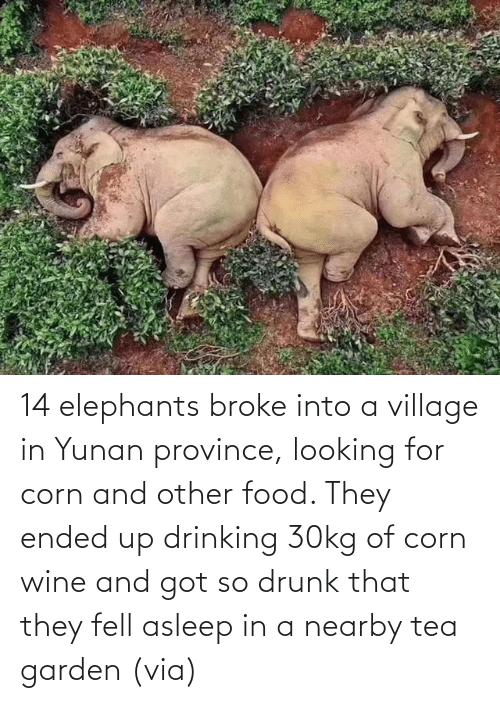 asleep: 14 elephants broke into a village in Yunan province, looking for corn and other food. They ended up drinking 30kg of corn wine and got so drunk that they fell asleep in a nearby tea garden (via)