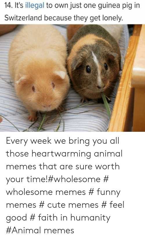 Switzerland: 14. It's illegal to own just one guinea pig in  Switzerland because they get lonely. Every week we bring you all those heartwarming animal memes that are sure worth your time!#wholesome # wholesome memes # funny memes # cute memes # feel good # faith in humanity #Animal memes