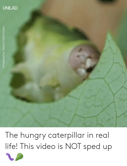 caterpillar: 2  VIRALHOG/CAROL PASTERNAK The hungry caterpillar in real life! This video is NOT sped up 🐛🥬