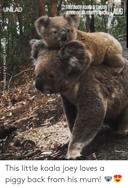 dixon: 2019  This baby koala istaking  aride on its mum's back| AUG  UNILAD  BRITTANY DIXON VIA STORYFUL This little koala joey loves a piggy back from his mum! 🐨😍