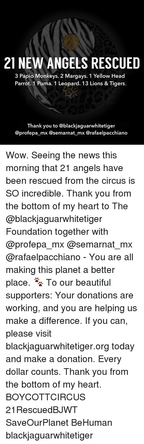 pumas: 21 NEW ANGELS RESCUED  3 Papio Monkeys. 2 Margays. 1 Yellow Head  Parrot. 1 Puma. 1 Leopard. 13 Lions & Tigers.  Thank you to @blackjaguarwhitetiger  @profepa_mx @semarnat mx Crafaelpacchiano Wow. Seeing the news this morning that 21 angels have been rescued from the circus is SO incredible. Thank you from the bottom of my heart to The @blackjaguarwhitetiger Foundation together with @profepa_mx @semarnat_mx @rafaelpacchiano - You are all making this planet a better place. 🐾 To our beautiful supporters: Your donations are working, and you are helping us make a difference. If you can, please visit blackjaguarwhitetiger.org today and make a donation. Every dollar counts. Thank you from the bottom of my heart. BOYCOTTCIRCUS 21RescuedBJWT SaveOurPlanet BeHuman blackjaguarwhitetiger