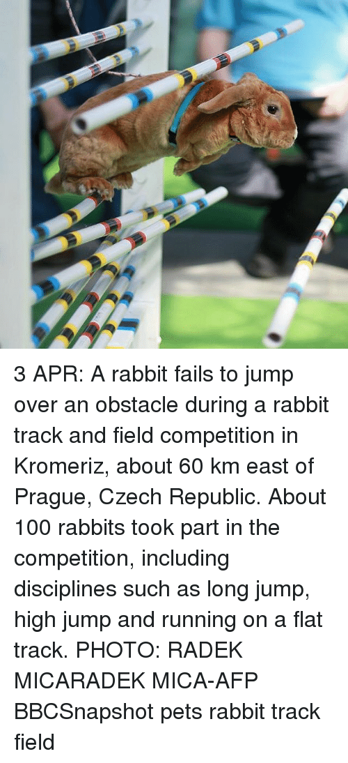 mica: 3 APR: A rabbit fails to jump over an obstacle during a rabbit track and field competition in Kromeriz, about 60 km east of Prague, Czech Republic. About 100 rabbits took part in the competition, including disciplines such as long jump, high jump and running on a flat track. PHOTO: RADEK MICARADEK MICA-AFP BBCSnapshot pets rabbit track field