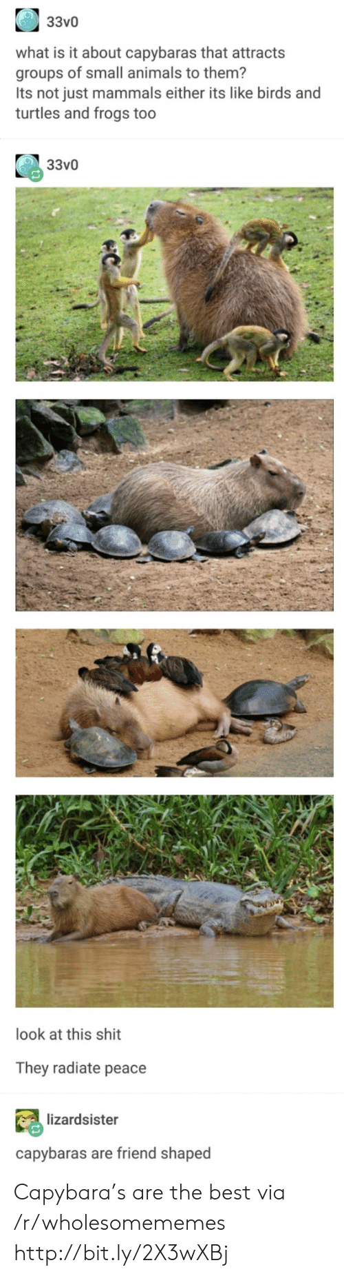 Animals, Shit, and Best: 33v0  what is it about capybaras that attracts  groups of small animals to them?  Its not just mammals either its like birds and  turtles and frogs too  33v0  look at this shit  They radiate peace  lizardsister  capybaras are friend shaped Capybara's are the best via /r/wholesomememes http://bit.ly/2X3wXBj