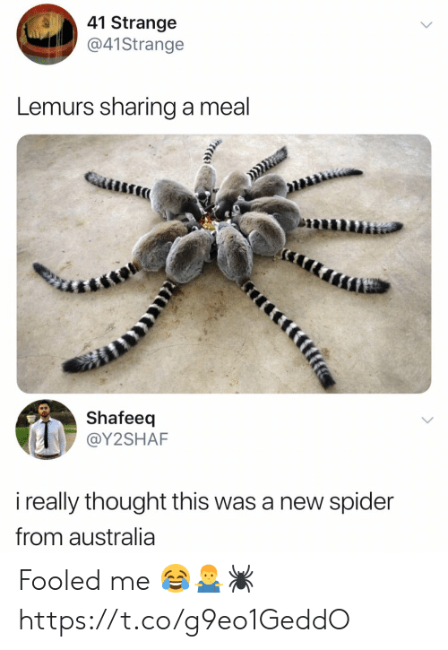 Spider, Australia, and Thought: 41 Strange  @41Strange  Lemurs sharing a meal  Shafeeq  @Y2SHAF  i really thought this was a new spider  from australia  tfife Fooled me 😂🤷♂️🕷 https://t.co/g9eo1GeddO