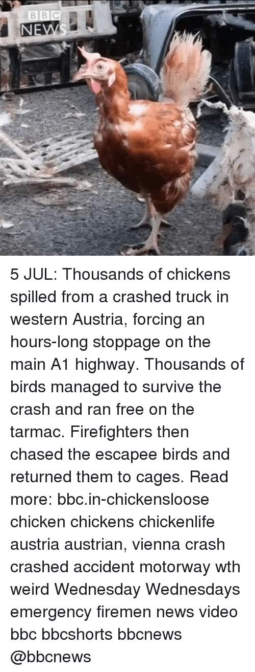 tarmac: 5 JUL: Thousands of chickens spilled from a crashed truck in western Austria, forcing an hours-long stoppage on the main A1 highway. Thousands of birds managed to survive the crash and ran free on the tarmac. Firefighters then chased the escapee birds and returned them to cages. Read more: bbc.in-chickensloose chicken chickens chickenlife austria austrian, vienna crash crashed accident motorway wth weird Wednesday Wednesdays emergency firemen news video bbc bbcshorts bbcnews @bbcnews