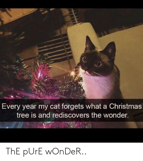 Christmas, Christmas Tree, and Tree: 6  Every year my cat forgets what a Christmas  tree is and rediscovers the wonder. ThE pUrE wOnDeR..