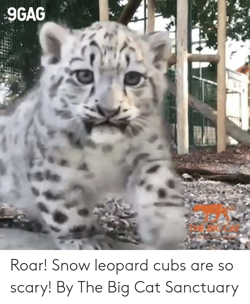 big cat: 9GAG  rshe Roar! Snow leopard cubs are so scary!  By The Big Cat Sanctuary