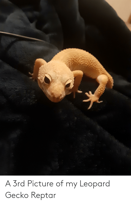 reptar: A 3rd Picture of my Leopard Gecko Reptar