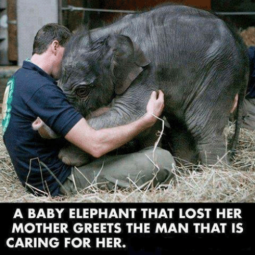Memes, Lost, and Elephant: A BABY ELEPHANT THAT LOST HER  MOTHER GREETS THE MAN THAT IS  CARING FOR HER.