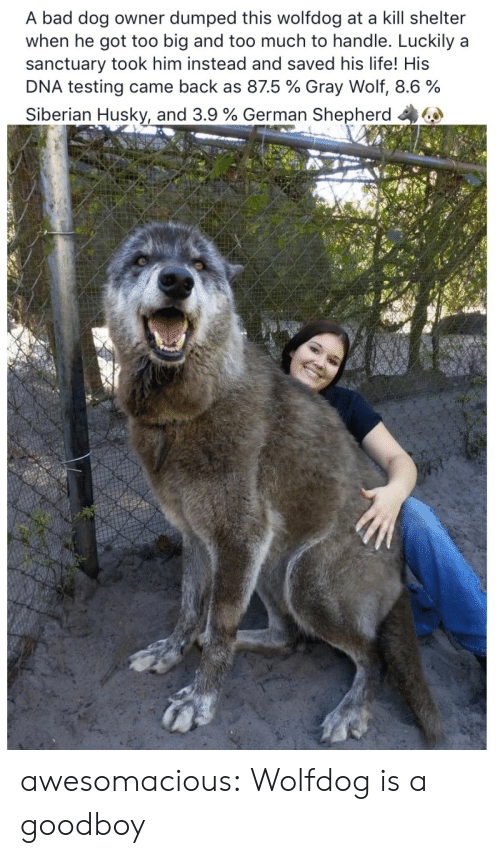 Bad, Life, and Too Much: A bad dog owner dumped this wolfdog at a kill shelter  when he got too big and too much to handle. Luckily a  sanctuary took him instead and saved his life! His  DNA testing came back as 875 % Gray Wolf, 8.6 %  Siberian Husky, and 3.9 % German Shepherd 44 awesomacious:  Wolfdog is a goodboy