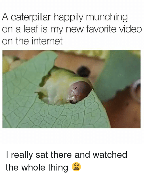 Funny, Internet, and Videos: A caterpillar happily munching  on a leaf is my new favorite video  on the internet I really sat there and watched the whole thing 😩