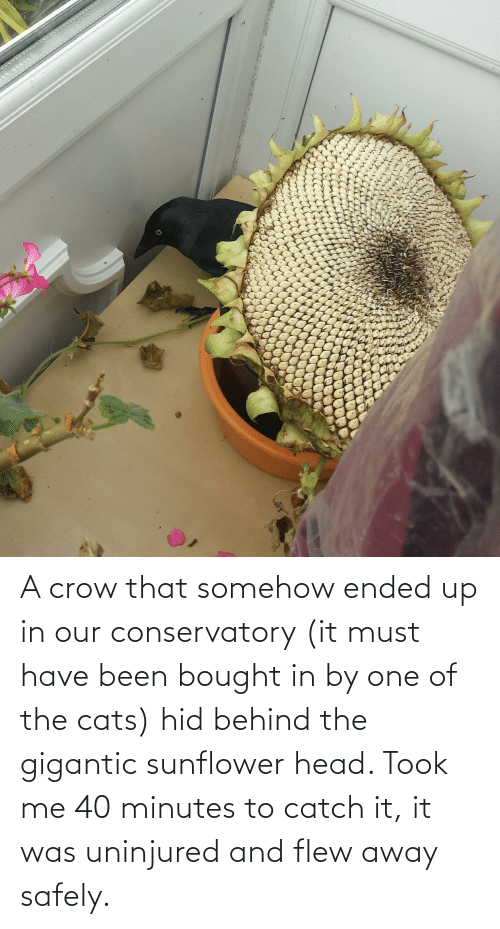 gigantic: A crow that somehow ended up in our conservatory (it must have been bought in by one of the cats) hid behind the gigantic sunflower head. Took me 40 minutes to catch it, it was uninjured and flew away safely.