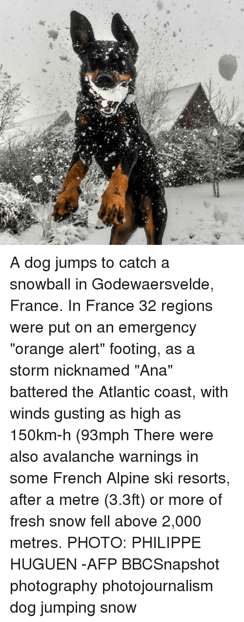 """Fresh, Memes, and France: A dog jumps to catch a snowball in Godewaersvelde, France. In France 32 regions were put on an emergency """"orange alert"""" footing, as a storm nicknamed """"Ana"""" battered the Atlantic coast, with winds gusting as high as 150km-h (93mph There were also avalanche warnings in some French Alpine ski resorts, after a metre (3.3ft) or more of fresh snow fell above 2,000 metres. PHOTO: PHILIPPE HUGUEN -AFP BBCSnapshot photography photojournalism dog jumping snow"""