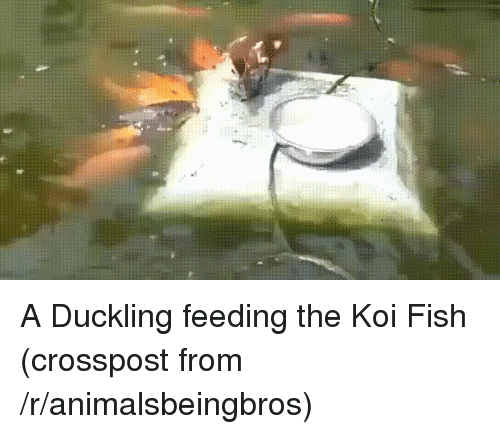 Fish, Koi, and Koi Fish: A Duckling feeding the Koi Fish (crosspost from /r/animalsbeingbros)