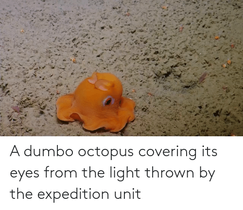Dumbo: A dumbo octopus covering its eyes from the light thrown by the expedition unit