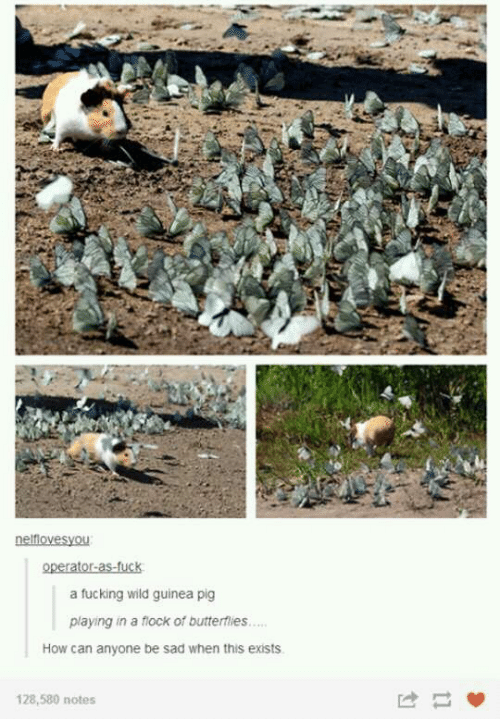 Fucking, Guinea Pig, and Wild: a fucking wild guinea pig  playing in a flock of butterflies...  How can anyone be sad when this exists  128,580 notes
