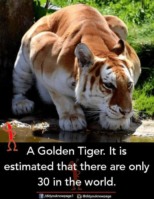 Memes, Tiger, and World: A Golden Tiger. It is  estimated that there are only  30 in the world.  f /didyouknow dyouknowpage