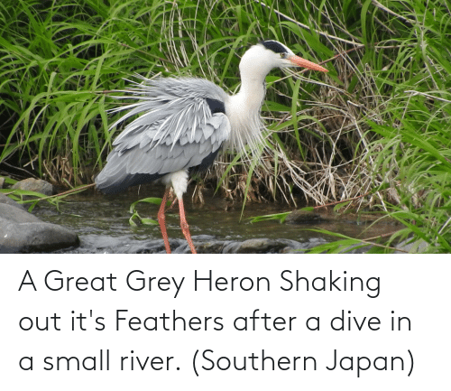 Southern: A Great Grey Heron Shaking out it's Feathers after a dive in a small river. (Southern Japan)