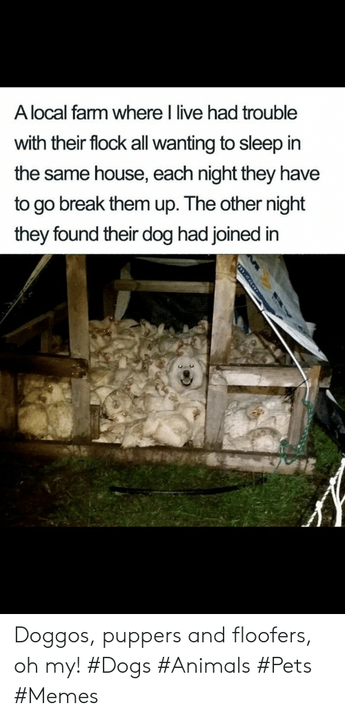 eon: A local farm where I live had trouble  with their flock all wanting to sleep in  the same house, each night they have  to go break them up. The other night  they found their dog had joined in  m.eon Doggos, puppers and floofers, oh my! #Dogs #Animals #Pets #Memes