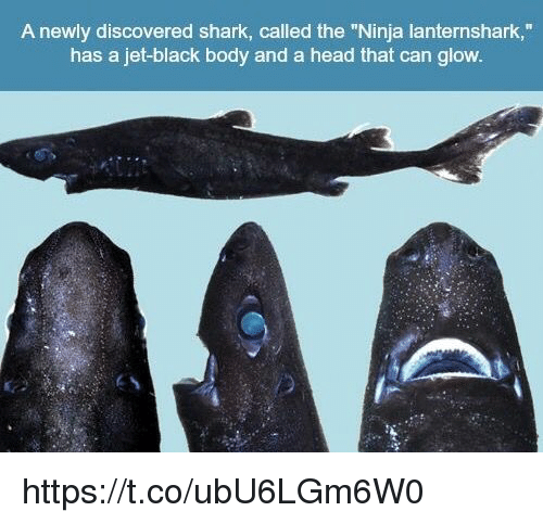 """sharking: A newly discovered shark, called the """"Ninja lanternshark,""""  has a jet-black body and a head that can glow https://t.co/ubU6LGm6W0"""