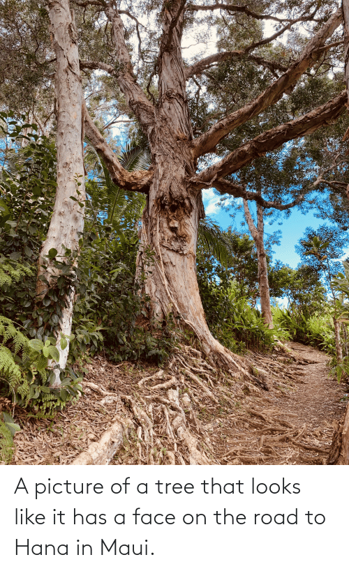 hana: A picture of a tree that looks like it has a face on the road to Hana in Maui.