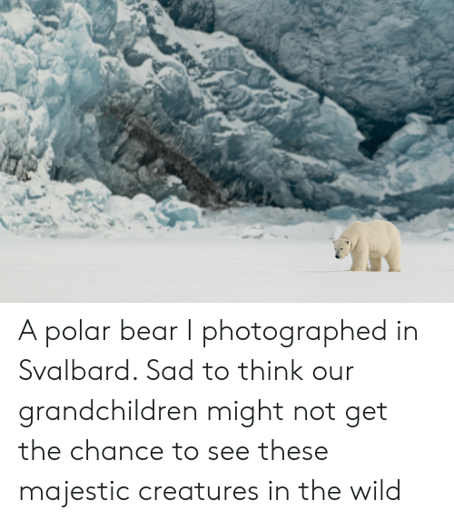 svalbard: A polar bear I photographed in Svalbard. Sad to think our grandchildren might not get the chance to see these majestic creatures in the wild