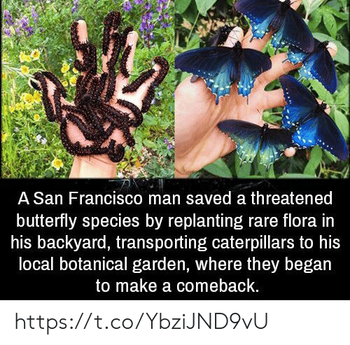 San Francisco: A San Francisco man saved a threatened  butterfly species by replanting rare flora in  his backyard, transporting caterpillars to his  local botanical garden, where they began  to make a comeback. https://t.co/YbziJND9vU