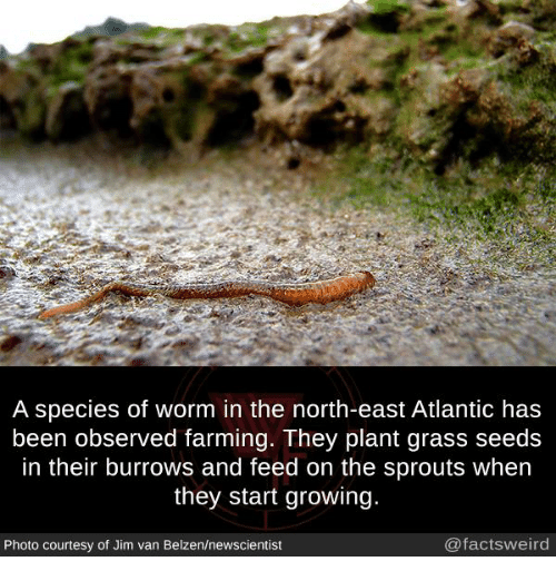 Grasse: A species of worm in the north-east Atlantic has  been observed farming. They plant grass seeds  in their burrows and feed on the sprouts when  they start growing  Photo courtesy of Jim van Belzen/newscientist  @factsweird