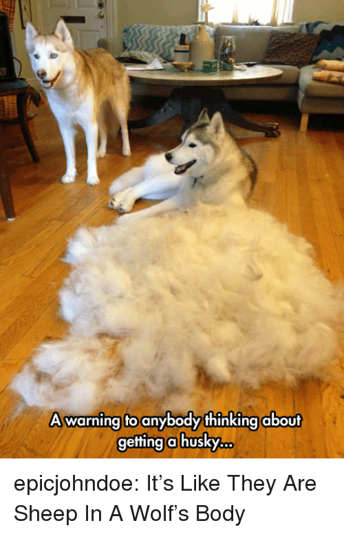 Tumblr, Blog, and Husky: A warning to anybody thinking about  getting a husky. epicjohndoe:  It's Like They Are Sheep In A Wolf's Body