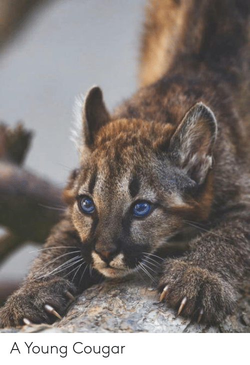 Cougar, Young, and A: A Young Cougar