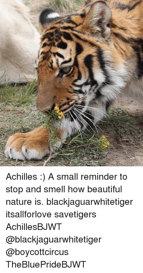 Beautiful, Memes, and Smell: Achilles :) A small reminder to stop and smell how beautiful nature is. blackjaguarwhitetiger itsallforlove savetigers AchillesBJWT @blackjaguarwhitetiger @boycottcircus TheBluePrideBJWT