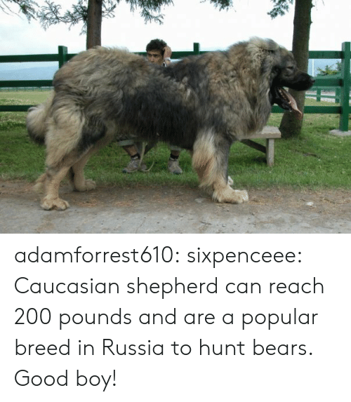Sixpenceee: adamforrest610:  sixpenceee:  Caucasian shepherd can reach 200 pounds and are a popular breed in Russia to hunt bears.  Good boy!