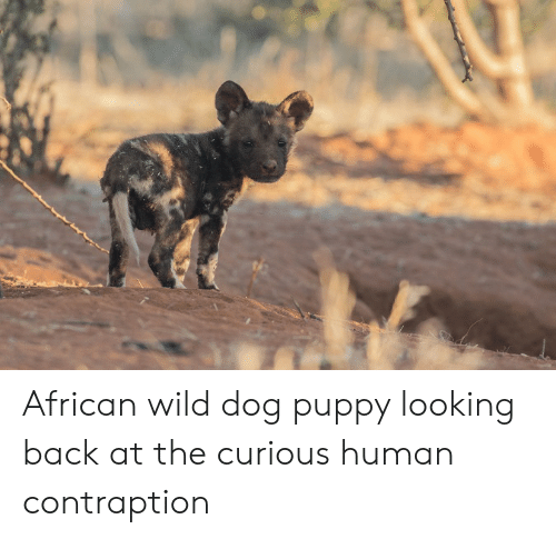 Puppy, Wild, and Back: African wild dog puppy looking back at the curious human contraption