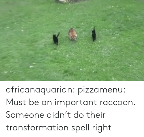 transformation: africanaquarian: pizzamenu: Must be an important raccoon.   Someone didn't do their transformation spell right