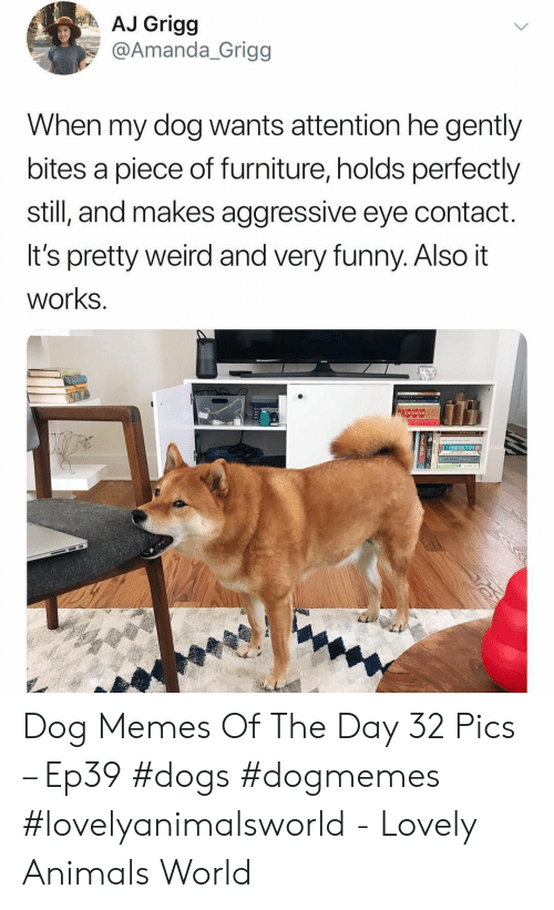 Animals, Dogs, and Funny: AJ Grigg  @Amanda_Grigg  When my dog wants attention he gently  bites a piece of furniture, holds perfectly  still, and makes aggressive eye contact.  It's pretty weird and very funny. Also it  works. Dog Memes Of The Day 32 Pics – Ep39 #dogs #dogmemes #lovelyanimalsworld - Lovely Animals World