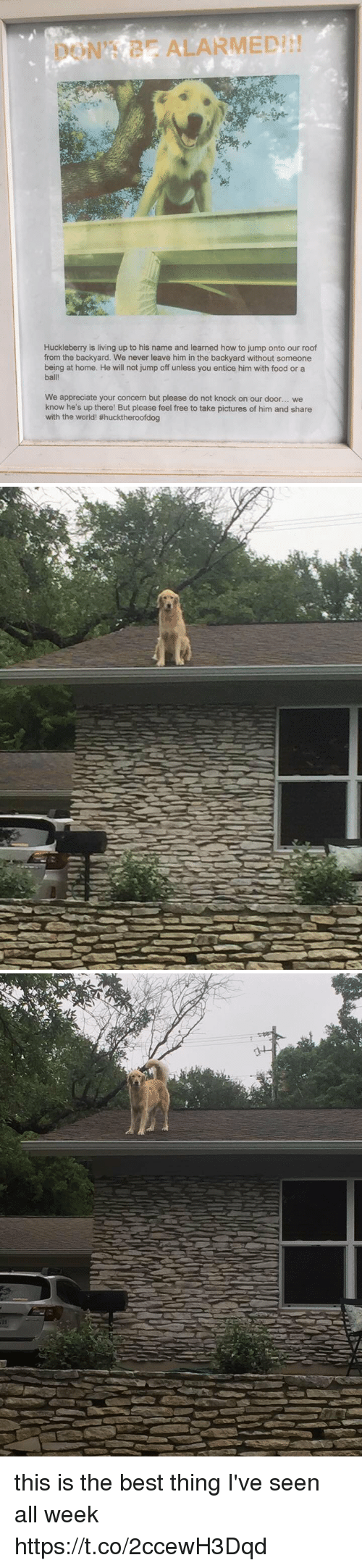 jumps off: ALARMED  Huckleberry is living up to his name and learned how to jump onto our roof  from the backyard. We never leave him in the backyard without someone  being at home. He will not jump off unless you entice him with food or a  ball!  We appreciate your concern but please do not knock on our door... we  know he's up there! But please feel free to take pictures of him and share  with the world! #hucktheroofdog   み this is the best thing I've seen all week https://t.co/2ccewH3Dqd
