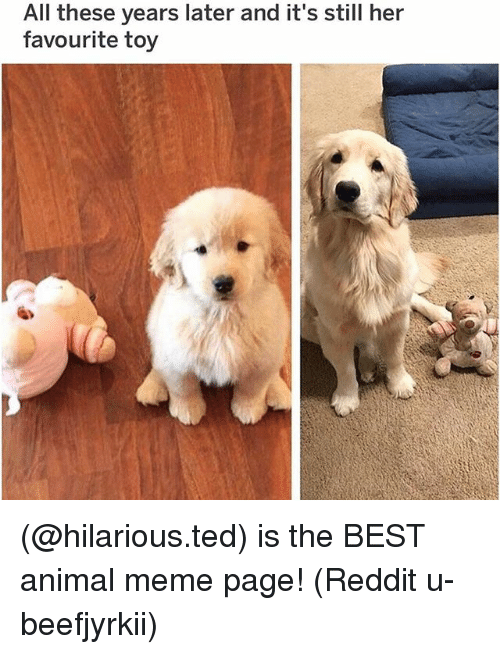 Meme, Memes, and Reddit: All these years later and it's still her  favourite toy (@hilarious.ted) is the BEST animal meme page! (Reddit u-beefjyrkii)