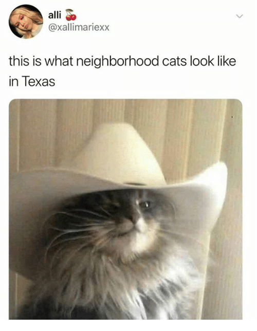 Cats, Dank, and Texas: alli o  @xallimariexx  this is what neighborhood cats look like  in Texas