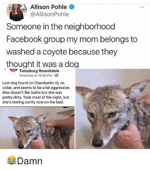 Facebook, Memes, and Lost: Allison Pohle  @AllisonPohle  Someone in the neighborhood  Facebook group my mom belongs to  washed a coyote because they  thought it was a dog  Twinsburg Roundtable  Yesterday at 10:56 PM  Lost dog found on Chamberlin rd, no  collar, and seems to be a bit aggressive.  Also doesn't like baths but she was  pretty dirty. Took most of the night, but  she's resting comfy now on the bed. 😂Damn