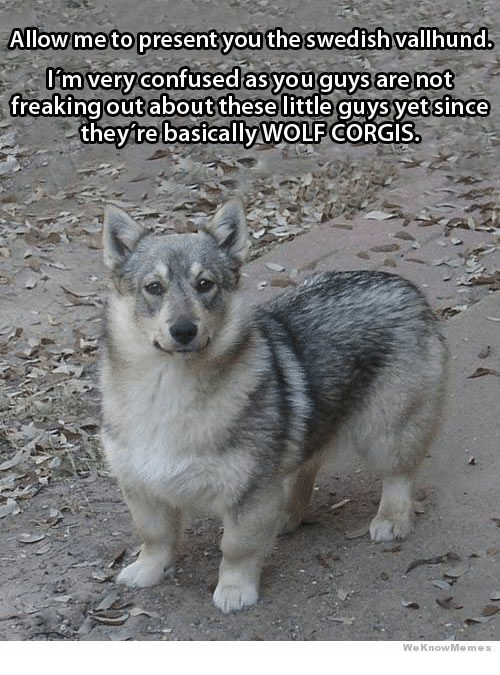 Corgis: Allow me to present you the swedish vallhund.  I'm very confused asyou guys are not  freakingoutaboutthesellittle quys yet since  they're basically WOLF CORGIS.  WeKnowMemes