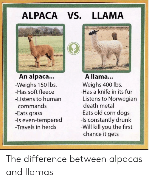 grass: ALPACA VS. LLAMA  An alpaca...  A llama...  -Weighs 150 lbs  -Has soft fleece  -Weighs 400 lbs.  -Has a knife in its fur  -Listens to Norwegian  death metal  -Eats old corn dogs  -ls constantly drunk  -Will kill you the first  chance it gets  -Listens to human  commands  -Eats grass  -Is even-tempered  Travels in herds The difference between alpacas and llamas