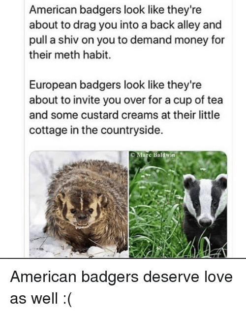 Love, Money, and American: American badgers look like they're  about to drag you into a back alley and  pull a shiv on you to demand money for  their meth habit.  European badgers look like they're  about to invite you over for a cup of tea  and some custard creams at their little  cottage in the countryside.  O Marc Baldwin American badgers deserve love as well :(