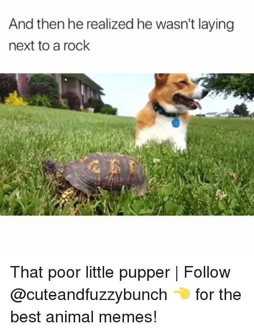 Best Animal Memes: And then he realized he wasn't laying  next to a rock That poor little pupper | Follow @cuteandfuzzybunch 👈 for the best animal memes!